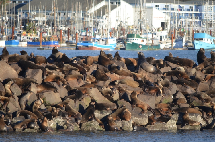 sea lions getting high in Newport, Oregon