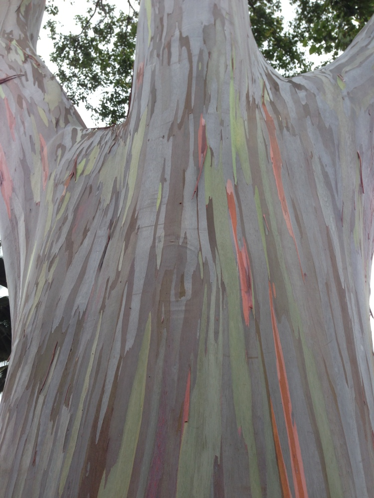 mindanao gum (Rainbow eucalyptus) at Dole Pineapple Plantation